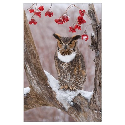 Great Horned Owl (Bubo virginianus) in winter, How Poster