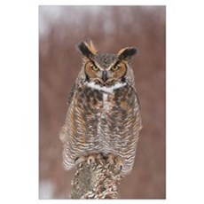 Great Horned Owl (Bubo virginianus), Howell Nature Poster