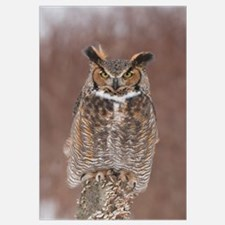Great Horned Owl (Bubo virginianus), Howell Nature