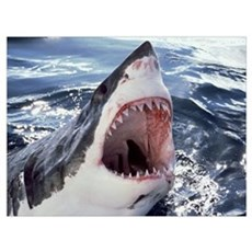 Great White Shark (Carcharodon carcharias) Neptune Canvas Art