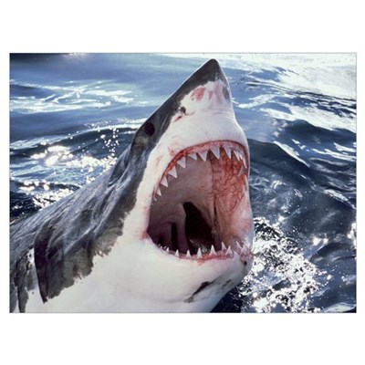 Great White Shark (Carcharodon carcharias) Neptune Framed Print