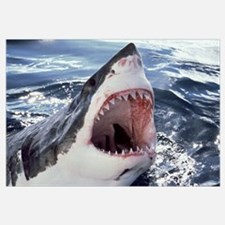 Great White Shark (Carcharodon carcharias) Neptune