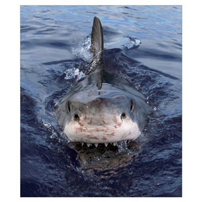 Great White Shark (Carcharodon carcharias), Cape P Poster
