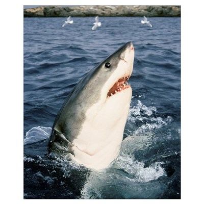 Great White Shark (Carcharodon carcharias), Neptun Poster