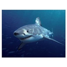 Great White Shark (Carcharodon carcharias), Neptun Canvas Art