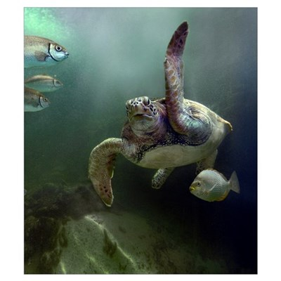 Green Sea Turtle (Chelonia mydas) and fish, Sabah, Poster