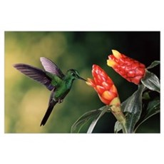 Green-crowned Brilliant hummingbird, with Spiral F Poster