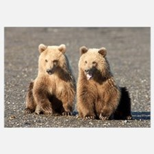 Grizzly Bear (Ursus arctos horribilis) cubs, one y
