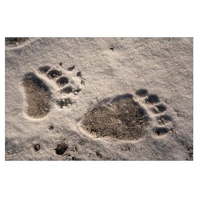 Grizzly Bear (Ursus arctos horribilis) paw prints, Poster