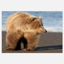 Grizzly Bear (Ursus arctos horribilis) yearling, K