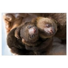 Hoffmann's Two-toed Sloth (Choloepus hoffmanni) ba Poster