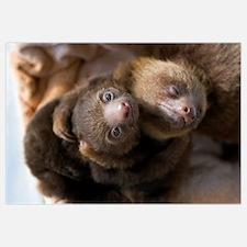 Hoffmann's Two-toed Sloth (Choloepus hoffmanni) ba