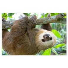 Hoffmann's Two-toed Sloth (Choloepus hoffmanni) si Poster