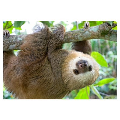 Hoffmann's Two-toed Sloth (Choloepus hoffmanni) si Framed Print