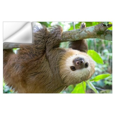 Hoffmann's Two-toed Sloth (Choloepus hoffmanni) si Wall Decal