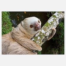 Hoffmann's Two-toed Sloth (Choloepus hoffmanni), C