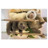 Baby sloth Posters