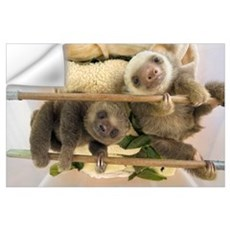 Hoffmann's Two-toed Sloth babies, Aviarios Sloth S Wall Decal