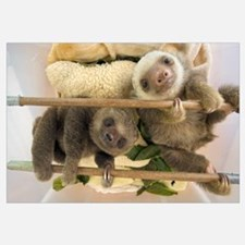 Hoffmann's Two-toed Sloth babies, Aviarios Sloth S
