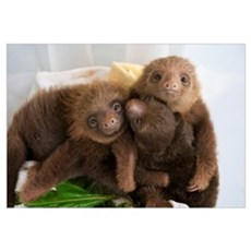 Hoffmann's Two-toed Sloth babies, Aviarios Sloth S Framed Print