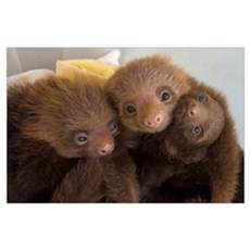 Hoffmann's Two-toed Sloth babies, Aviarios Sloth S Poster