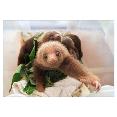 Hoffmann's Two-toed Sloth babies, Aviarios Sloth S Canvas Art
