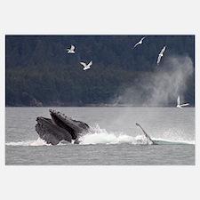 Humpback Whale (Megaptera novaeangliae) bubble net