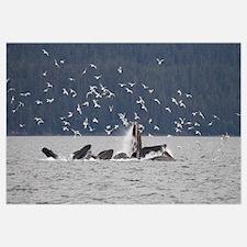 Humpback Whale (Megaptera novaeangliae) feeding ne