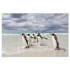King Penguin (Aptenodytes patagonicus) group, Volu Poster