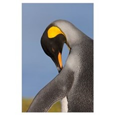 King Penguin (Aptenodytes patagonicus) preening, K Poster