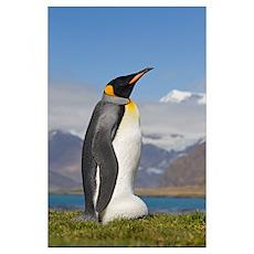 King Penguin incubating egg on its feet, King Edwa Poster
