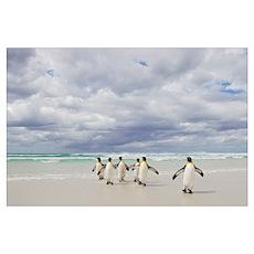 King Penguins (Aptenodytes patagonicus) returning  Poster