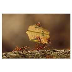 Leafcutter Ant (Atta sp) group carrying leaf, Sier Poster