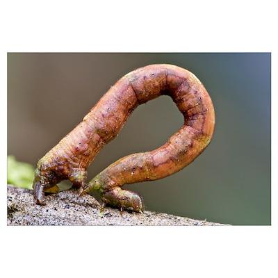 Looper Moth (Geometridae) caterpillar crawling, Mi Poster