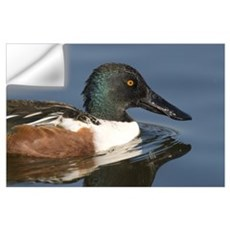 Northern Shoveler (Anas clypeata) male swimming, K Wall Decal