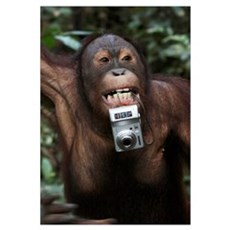 Orangutan (Pongo pygmaeus) with tourist's camera,  Framed Print