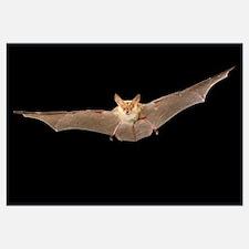 Pallid Bat (Antrozous pallidus) flying at night, W