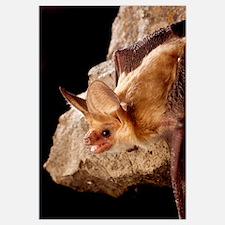 Pallid Bat (Antrozous pallidus) on rimrock at nigh