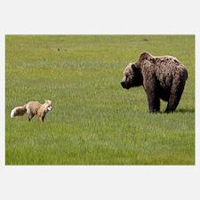 Red Fox and Grizzly Bear, Katmai National Park, Al