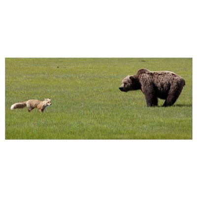 Red Fox and Grizzly Bear, Katmai National Park, Al Poster