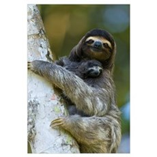 Three-toed Sloth mother and baby, Aviarios Sloth S Framed Print