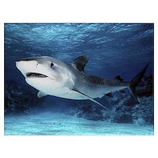 Tiger Shark (Galeocerdo cuvieri), Great Barrier Re Poster