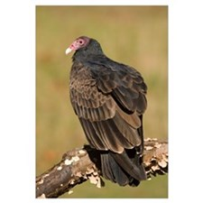 Turkey Vulture (Cathartes aura), Howell Nature Cen