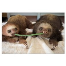 Two-toed Sloth babies sharing string bean, Aviario Poster