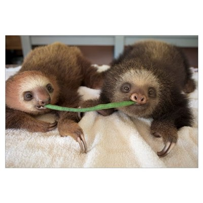 Two-toed Sloth babies sharing string bean, Aviario Framed Print
