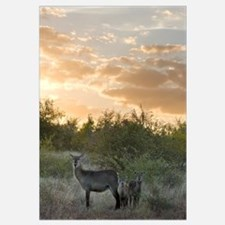 Waterbuck (Kobus ellipsiprymnus) mother and calf,