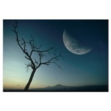 Whistling Thorn (Acacia drepanolobium) and moon, A Poster