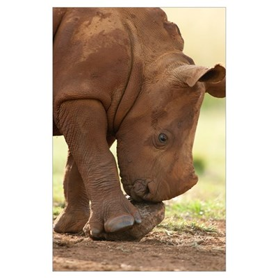 White Rhinoceros calf playing with a rock, South A Poster