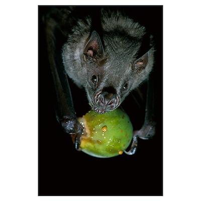 White-throated Round-eared Bat (Tonatia silvicola) Poster
