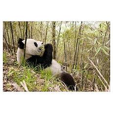 Xiang Xiang the Giant Panda, first captive raised  Poster
